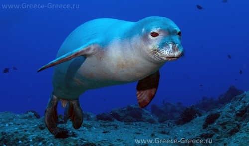 Тюлень Monachus